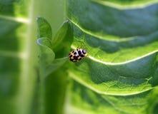 14斑点瓢虫 图库摄影
