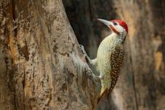 斑点红喉刺莺的啄木鸟, Campethera scriptoricauda,在树干,自然栖所 野生生物博茨瓦纳,动物行为 鸟我 免版税库存图片