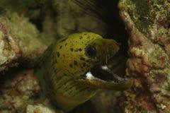 斑点面孔海鳗, Kapalai海岛,沙巴 库存照片