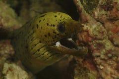 斑点面孔海鳗, Kapalai海岛,沙巴 库存图片