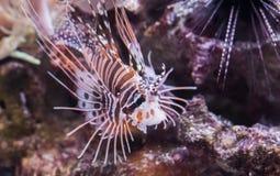 斑点飞翅狮子鱼,从太平洋的一只热带矮小的水族馆宠物 免版税库存照片