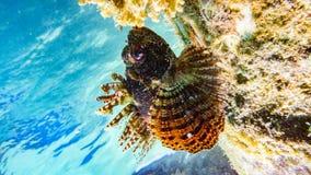斑点飞翅蓑鱼在马尔代夫 免版税图库摄影