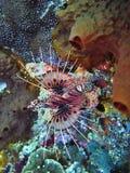 斑点飞翅蓑鱼, Pterois antennata,珊瑚海,巴厘岛,印度尼西亚 免版税库存照片