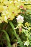 斑纹的兰花开花美丽的兰花花 免版税库存图片