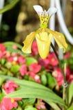 斑纹的兰花开花美丽的兰花花 免版税图库摄影