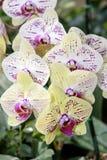 斑纹的兰花开花美丽的兰花花 库存照片