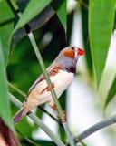 斑胸草雀男性 库存图片