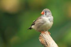 斑胸草雀 库存图片