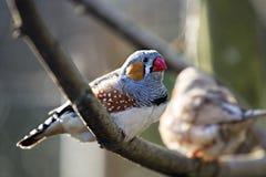 斑胸草雀 库存照片