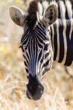斑马动物顶头纵向 库存图片