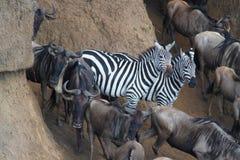 斑马变化-徒步旅行队肯尼亚 图库摄影