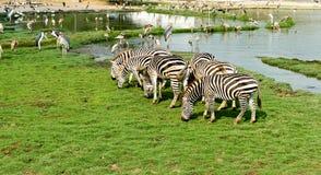 斑马吃着草 免版税库存图片