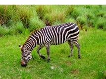 斑马吃草 图库摄影