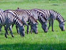 斑马吃 免版税库存图片