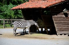 斑马吃 免版税库存照片