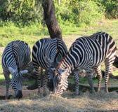 斑马吃 图库摄影