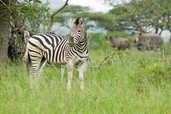 斑马和两白色犀牛在Umfolozi比赛储备,南非,在1897年建立 免版税图库摄影