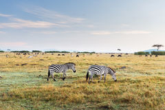 斑马和其他动物在大草原在非洲 库存图片