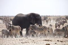 斑马和羚羊大象和牧群通过午间热等待在waterhole Etosha,纳米比亚 免版税库存照片