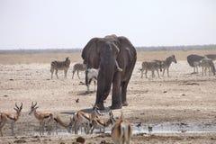 斑马和羚羊大象和牧群通过午间热等待在waterhole Etosha,纳米比亚 免版税库存图片