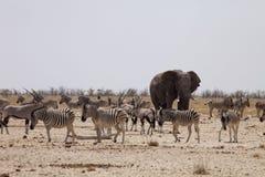 斑马和羚羊大象和牧群通过午间热等待在waterhole Etosha,纳米比亚 库存图片