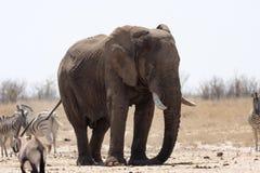 斑马和羚羊大象和牧群通过午间热等待在waterhole Etosha,纳米比亚 库存照片