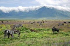 斑马和蓝色角马牧群在Ngorongoro火山口吃草 图库摄影