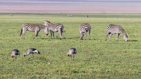 斑马和被加冠的起重机在Ngorongoro火山口 图库摄影