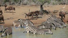 斑马和角马喝 影视素材