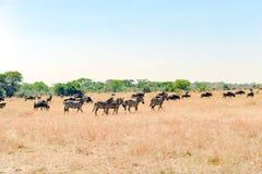 斑马和角马-在塞伦盖蒂,坦桑尼亚,非洲大草原的牛羚  免版税库存图片