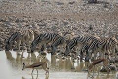 斑马和跳羚在waterhole在Okaukuejo,Etosha -纳米比亚 图库摄影