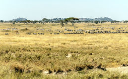 斑马和野公猪 库存照片