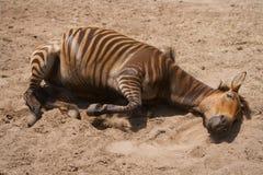 斑马和马,罕见的动物杂种  库存图片
