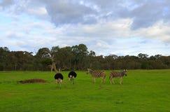 斑马和驼鸟 库存图片