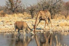 斑马和eland 免版税库存照片