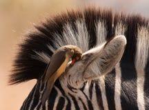 斑马和Oxpecker 图库摄影