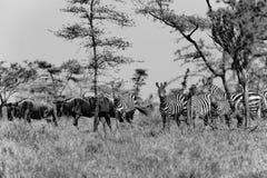 斑马和Wildebees -牛羚-在塞伦盖蒂,坦桑尼亚,黑白摄影 图库摄影