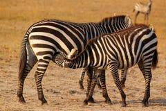 斑马哺乳-徒步旅行队肯尼亚 免版税库存照片