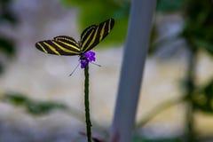 斑马在一朵紫色花的longwings蝴蝶 库存照片