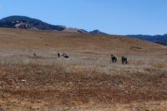 斑马在加利福尼亚 库存照片