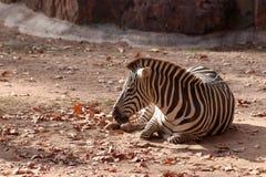 斑马在动物园里在纽伦堡在德国 库存图片