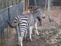 斑马在动物园里 库存图片