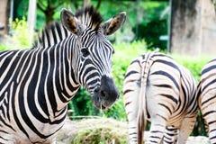 斑马在动物园里 图库摄影