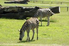 斑马在动物园里 免版税库存图片