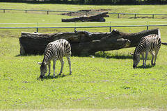 斑马在动物园里 免版税图库摄影