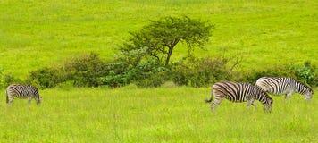 斑马在南非 免版税库存图片