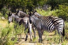 斑马在南非 免版税图库摄影