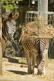 斑马在哺养在干燥干草的动物园放牧,当看或凝视照相机时 免版税库存照片