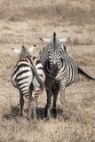 斑马在坦桑尼亚 库存图片