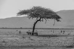 斑马在察沃国家公园,肯尼亚 免版税库存照片